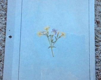 VINTAGE WILDFLOWER DISPLAY, pressed page, 1968 school project,  phlox
