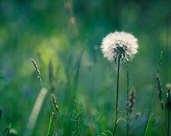 Nature Photography, Dreamy Home Decor, Summer Photograph, Photo of a Dandelion, Fine Art Print, Rustic Picture, Bokeh, Wall Art, Green