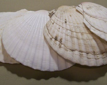 LP17-DCS-2  - Lot of 4 Large Crafting or Baking Scallop Shells