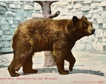 Antique Wisconsin Postcard - A Cinnamon Bear at Washington Park Zoo, Milwaukee (Unused)