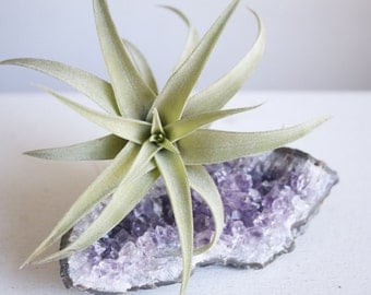 Air Plant on Geode, Amethyst Crystal Garden, Spiritual Gift For Mom, Artist, Yogi, Healer, Dorm Decor