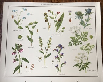 VINTAGE 1930's School Poster Forget Me Knot & Parsley Flora Educational Print Nature Study Wildflowers Flowers