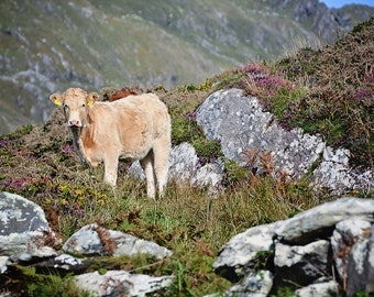 St Patricks Day, March, Cow, Calf, Heather, Gorse, Ireland, Irish, Mountains, Yellow, Purple, Rocks, Farming, Rancher, Margaret Dukeman