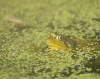 Little Green Frog in the Pond Animal Photography on Blank Note Card Camouflage Frog All Occasion Card