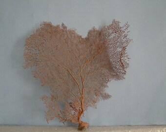 "12"" x 12.5"" Pacifigorgia Red  Sea Fan Seashells Reef Coral"