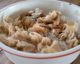 Raw Navajo-Churro Fleece, brown, beautiful, freshly, professionally sheared