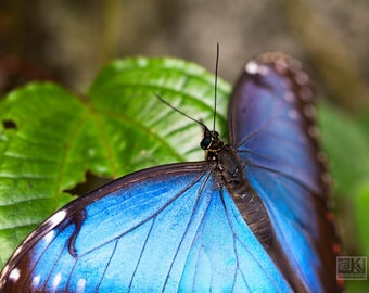 Butterfly wall art, Blue morpho, Blue butterfly print, Turquoise and Green, Nature photography, Macro photography, Animal photography