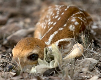 Newborn Whitetail Fawn