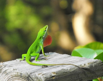 Green Male Anole Lizard Looking For Love Photo - Extended Red Dewlap - Print