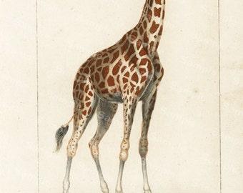 Original Antique Hand Colored Animal engraving of Giraffe