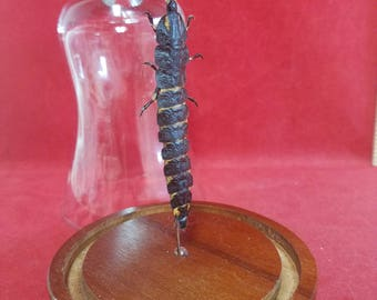 Taxidermy Preserved Firefly Larvae Glass dome display-entomology-insect-bug