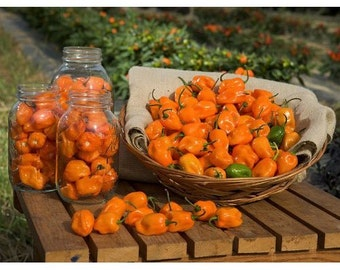 VPPHH) HABANERO HOT Pepper~Seeds!!!~~~~As Hot As It Gets!!!