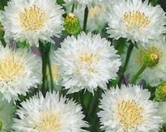 ABB) ARCTIC WHITE Bachelor Button~Seeds!!!!~~~~Snow White Beauty!