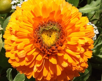 Organic Calendula Seeds - Minimum 125 seeds per packet - Reiki Infused