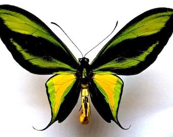 Ornithoptera Paradisea Occidentalis Male - RARITY!