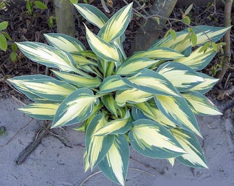 "Party Popper Hosta - Dwarf - 4"" Pot"