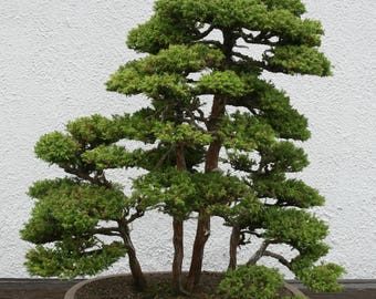 BONSAI - Japanese Cedar