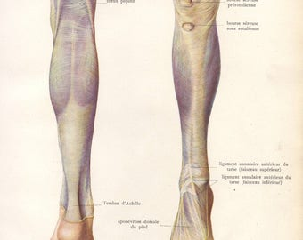 1905 leg muscles, tendons & ligaments print - Human anatomy, physiology, medical wall decor - 112 yr old victorian illustration (C577)