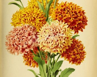 flowers-27892 - gaillardia picta lorenziana yellow flowers bouquet floral botanical illustration from ancient book high resolution image jpg