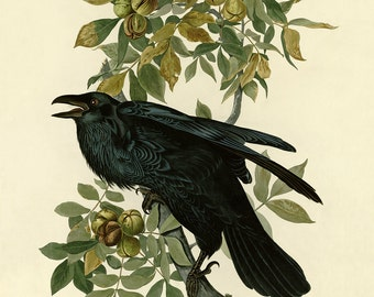 Birds of America by John James Audubon,  Raven Drawing,c. 1827,  Museum quality, Giclee Art Print