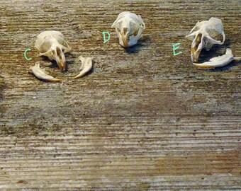Real Vole Skulls and Jaws Rodent Owl Pellet Bones