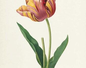 Tulip Flower Art Print, Botanical Art Print, Flower Wall Art, Flower Print, Floral Print, Redoute Art, red, yellow, Tulipa culta