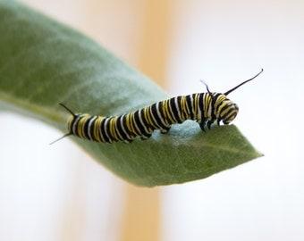Monarch caterpillar eating milkweed print