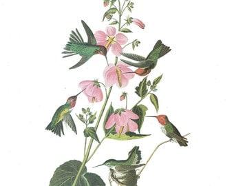 Vintage Bird Print Anna's Hummingbird Audubon Art Illustration 1978 Home Decor Wall Art Home Living Collectible Nature Wildlife Art Print