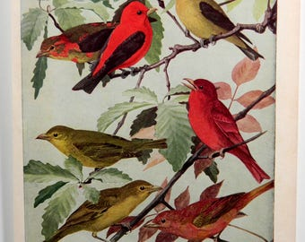 Tanagers and Swallows Bird Print by Louis Agassiz Fuertes, Birds of America, Vintage Double Sided 18787
