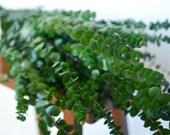 Bunch of Kelly Green Eucalyptus, very fragrant!, green eucalyptus, spiral eucalyptus, greenery, preserved eucalyptus, green florals