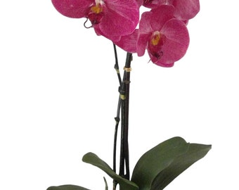 MelroseFields Scented Silk Fuchsia Orchid in Benito Pot