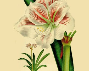 antique french botanical print tropical flower white amaryllis Yvonne illustration digital download