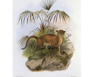Bornean Bay Cat Big Cat Print Wildlife Book Plate SALE Buy 3, get 1 FREE