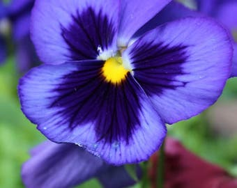 Blue-Purple Pansy Note Card