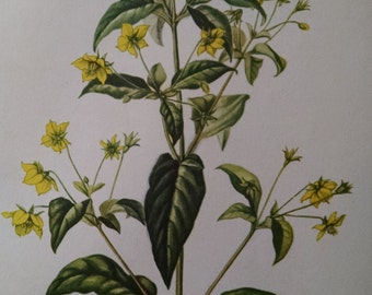 Fringed loosestrife, antique botanical litho print, 1954