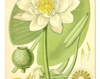 White Water Lily from Vintage Educational Chart, Botanical Art, Botanical Flower Print, Fragrant Water Lily Poster