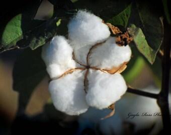 Cotton Photography,Cotton Boll,Cotton Pod,Cotton Plant,Cotton Field,Floral Photography,Botanical Photography,Farm decor,Nature Photography