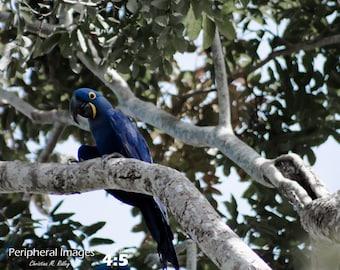 Bird Photography Parrot Wall Art Wildlife Photography Brazlian Home Decor Nature Photography