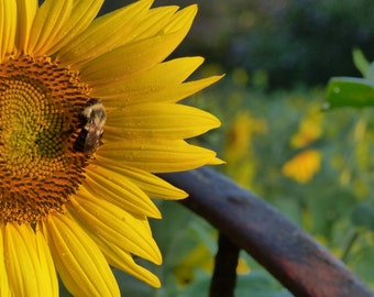 Bee and the Sunflower Print