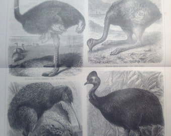 "Lithography, ""Ostrich"""