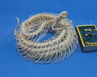 Taxidermy Real snake skeleton Asia Green vine snake
