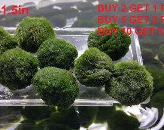 "Marimo Moss ball XL ~1.5"" BUY 2 get 1 FREE Freshwater plants and terrarium garden bonsai fish shrimp"