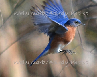 Bluebird Flying Both Wings Up 8x10 #2261_80_2014