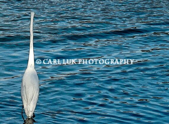 Blue Water Egret Bird