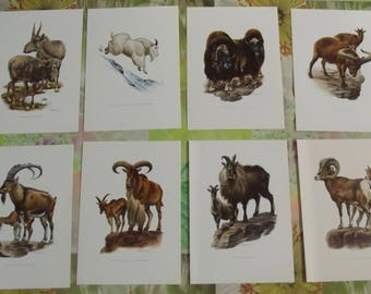 8 former boards posters 19 x 27 cm, the mountain goats, mountain sheep of the Canada, the Tur, Saiga