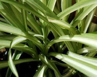 Spider Plant - Chlorophytum comosum - Air Purifying Plant - Easy to Grow - House Plant - Green - Gardening -