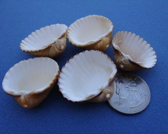 5 shells with hole-italian top drilled sea shells-supplies-supplies for crafts-jewelry supplies