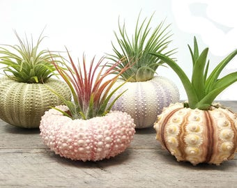 4 Pcs Sea Urchin Air Plant Lot / Kit Includes 4 Plants and 4 shells + Kraft Gift Box