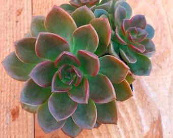 Succulent Plant - Echeveria Melaco