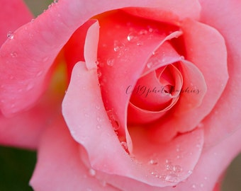 pink rose - pink flower - Fine Art Print -